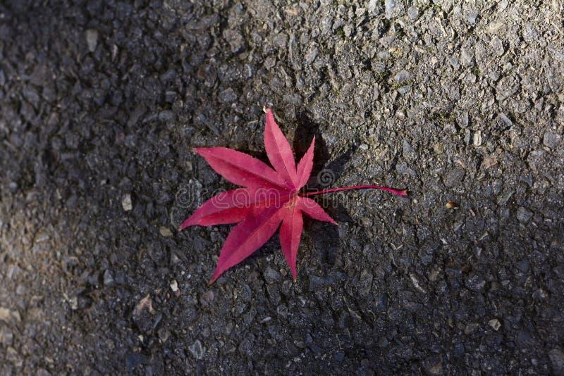 Érable rouge tombé au sol image stock
