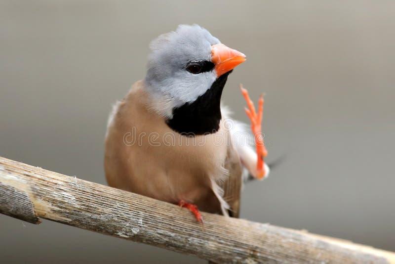 Éraflure d'oiseau du Grassfinch de l'estacade à claire-voie images libres de droits