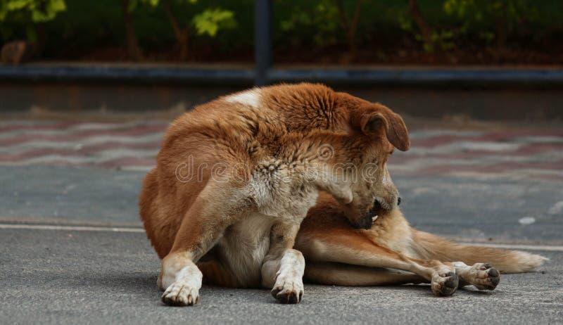 Éraflure irritante de chien photos libres de droits