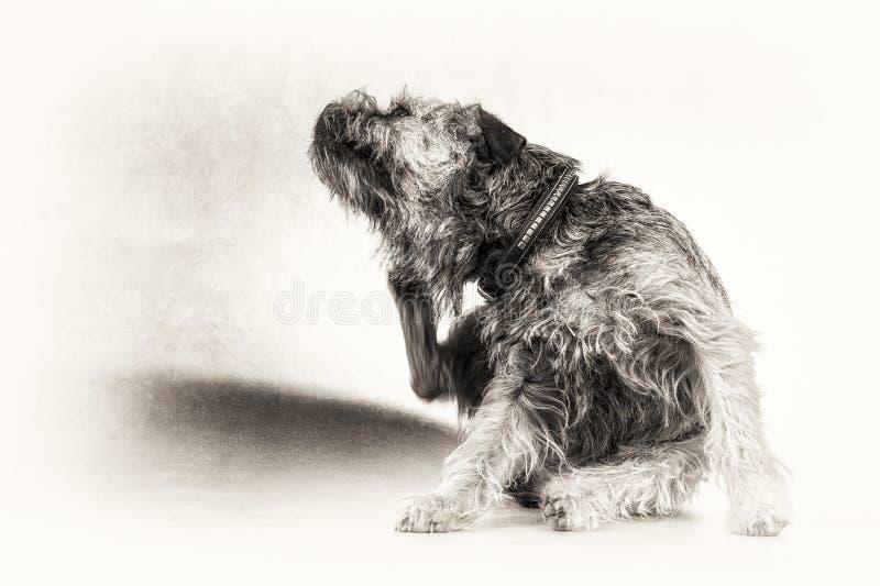 Éraflure, rayant, chien, terrier, patte, noir, blanc, l'espace de copie photos stock