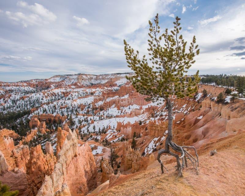 Érosion évidente autour d'arbre en Bryce photos libres de droits