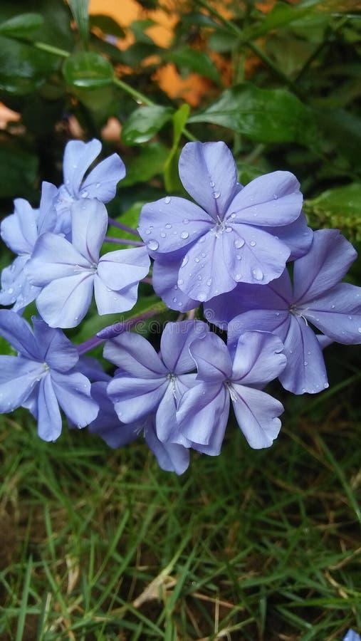 Ésta es flor azul hermosa imagen de archivo libre de regalías