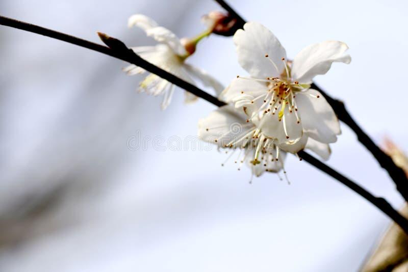 Ésta es flor del sur de la pera de China fotografía de archivo libre de regalías