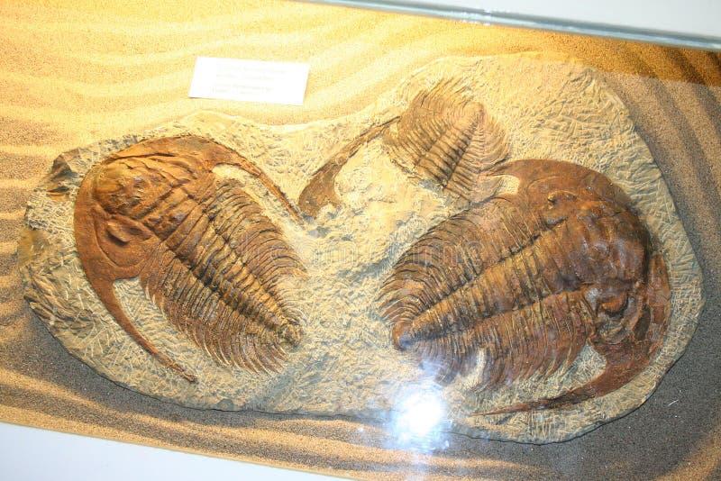 Éste es fósil animal antiguo fotografía de archivo libre de regalías