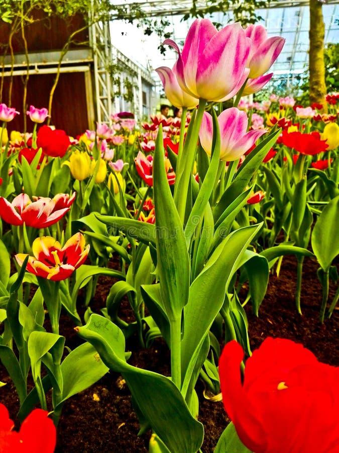 Éstos son tulipán que mantiene control de la temperatura fotos de archivo libres de regalías