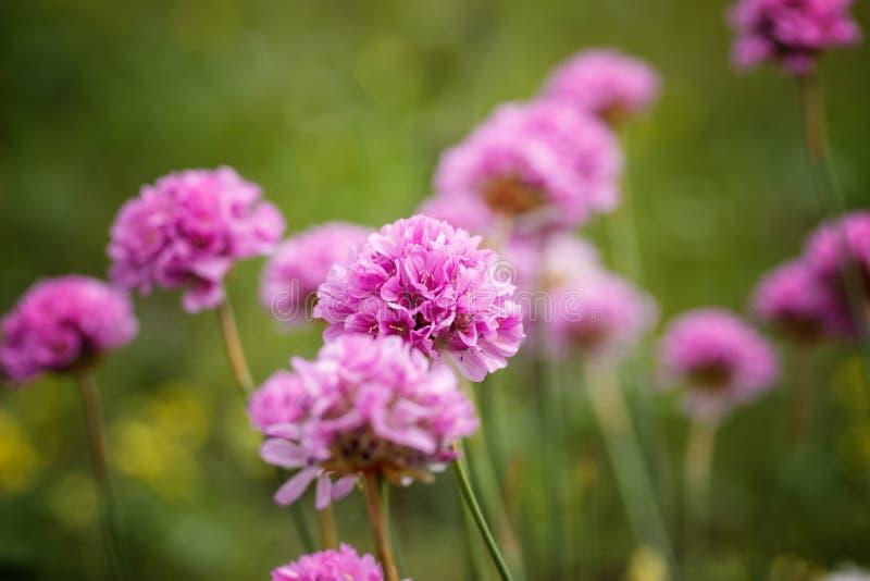 Été d'oignons fleurissants dans le jardin photographie stock