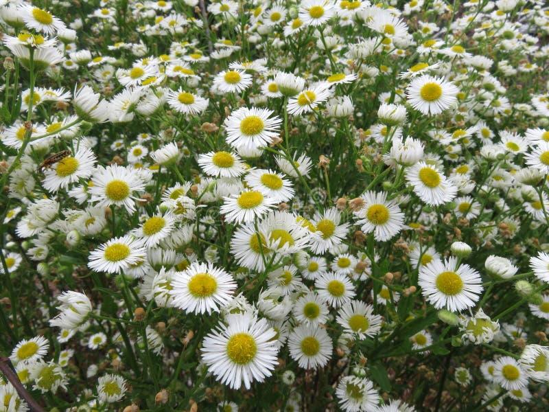 Été Daisy Flowers blanche dans le jardin photos stock