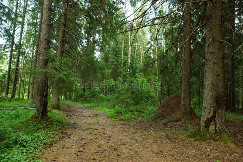 Été dans la forêt impeccable conifére, grands supports de fourmilière derrière un grand tronc d'arbre photo libre de droits