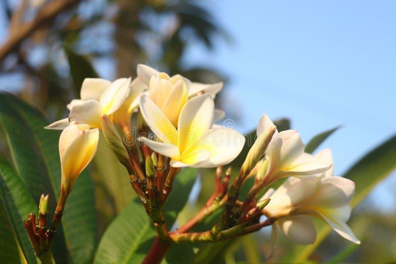 Été dans les montagnes de l'Inde, belle fleur jaune photographie stock