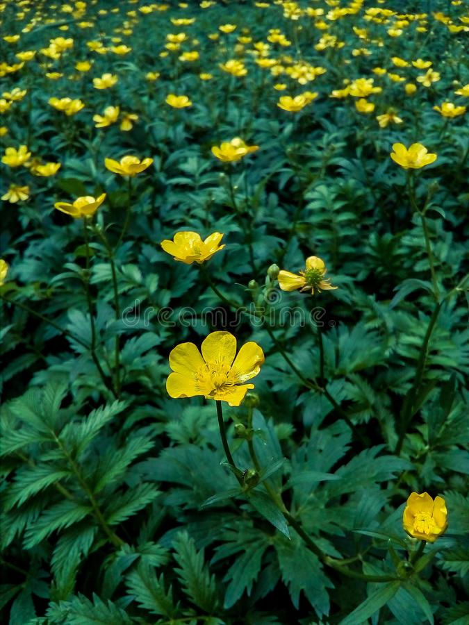 été, fleur, champ, ranunculus, renoncule, verte image libre de droits