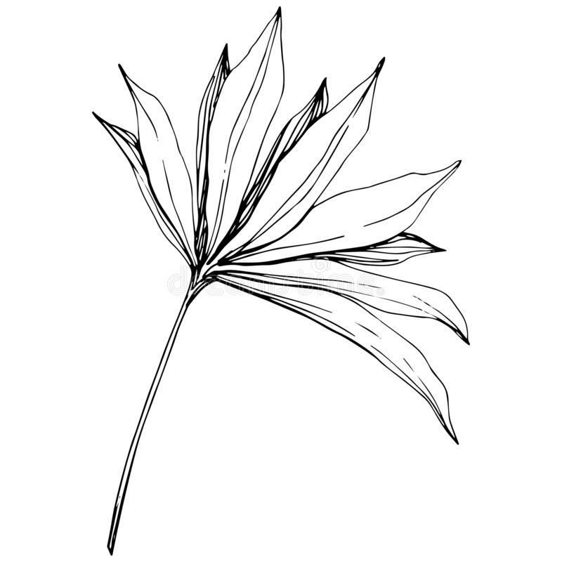 Été hawaïen tropical exotique Art gravé noir et blanc d'encre Élément d'isolement d'illustration de feuille illustration stock