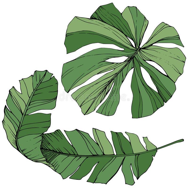 Été hawaïen tropical exotique Art gravé vert d'encre Élément d'isolement d'illustration de feuille illustration de vecteur