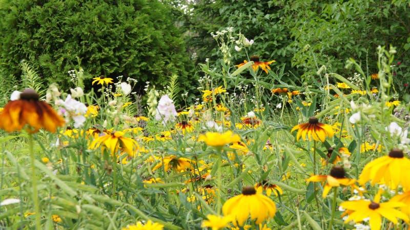 Été jaune de Coneflowers ou de hirta (de Rudbeckia) photos stock