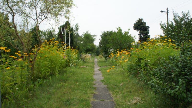 Été jaune de Coneflowers ou de hirta (de Rudbeckia) images libres de droits