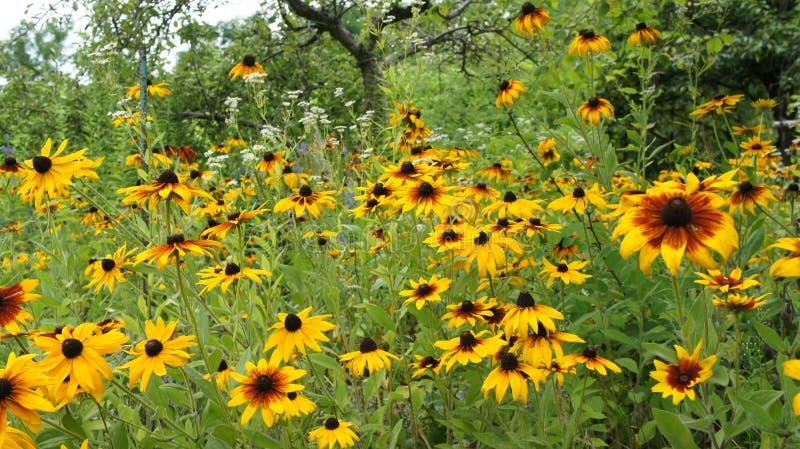 Été jaune de Coneflowers ou de hirta (de Rudbeckia) images stock