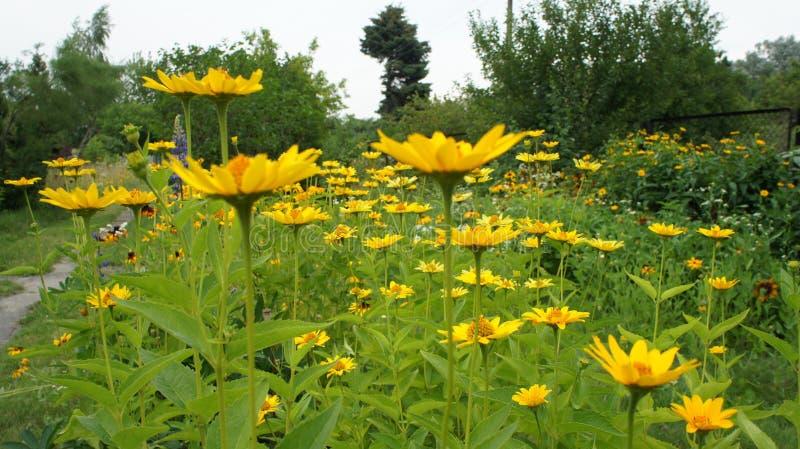Été jaune de Coneflowers ou de hirta (de Rudbeckia) photos libres de droits