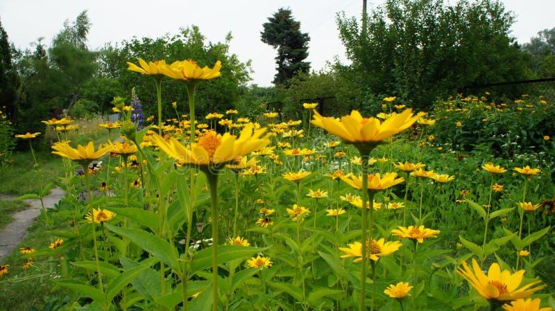 Été jaune de Coneflowers ou de hirta (de Rudbeckia) photo stock