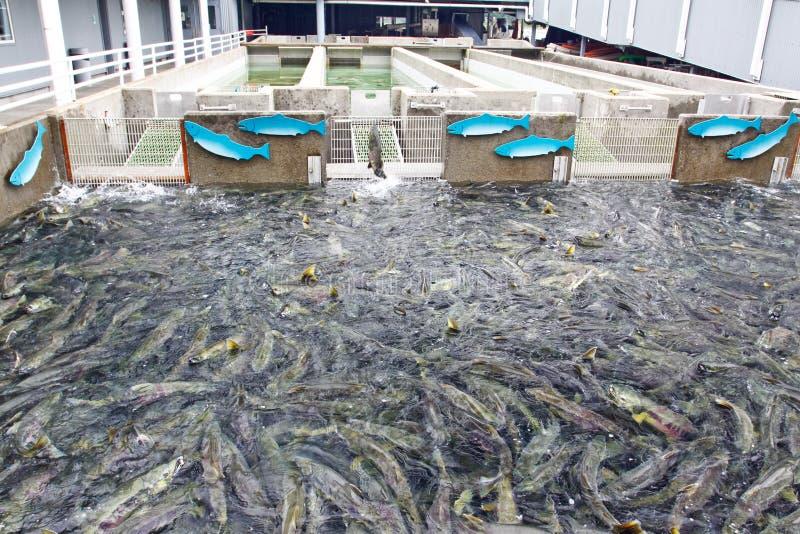 Établissement d'incubation saumoné Juneau de l'Alaska Macaulay photo libre de droits