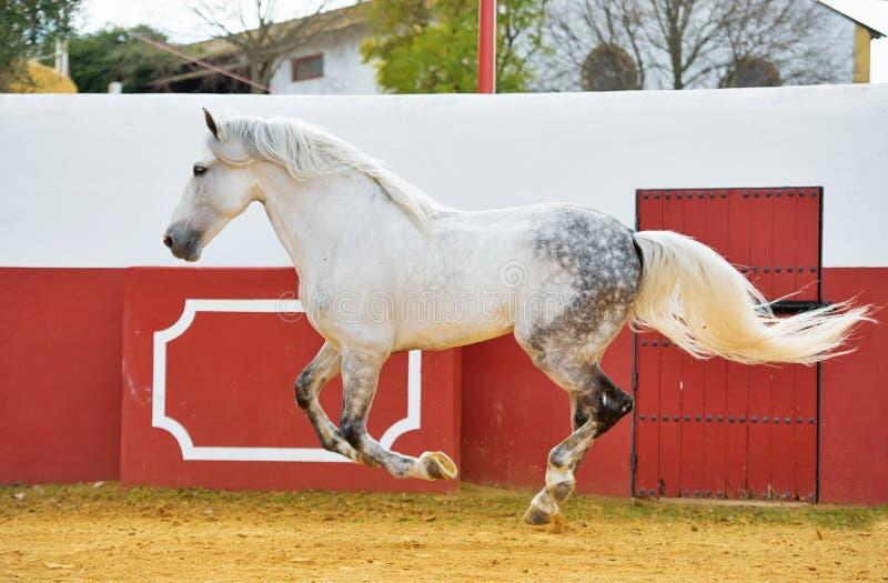 Étalon andalou blanc fonctionnant dans l'arène de taureau l'espagne photos stock