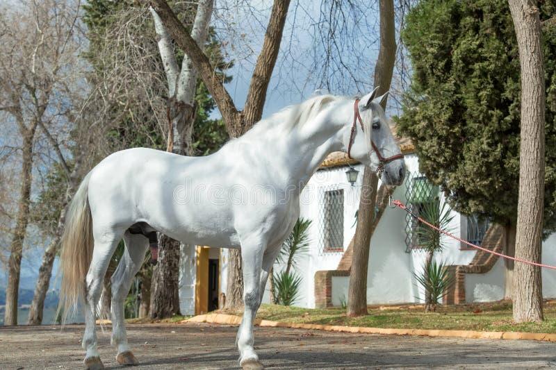 Étalon andalou blanc pur poseing dans le jardin Le printemps? a mont? des feuilles, fond naturel photographie stock