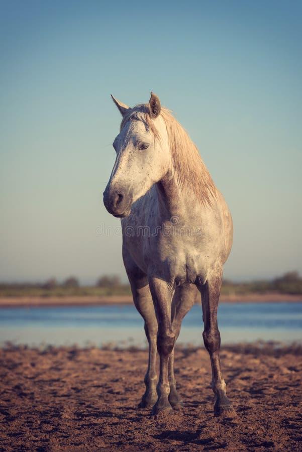 Étalon blanc de cheval de camargue dans la réserve naturelle, image verticale, le Bouches-du-Rhône, France image stock