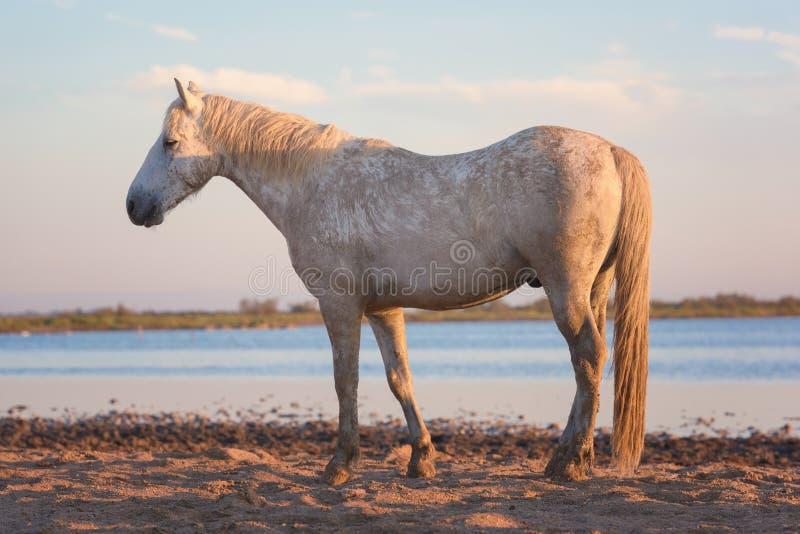 Étalon blanc de cheval de camargue dans la réserve naturelle, le Bouches-du-Rhône, France image stock