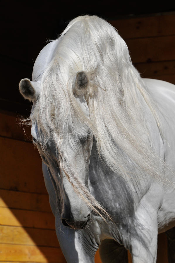Étalon de cheval blanc dans la gamme de produits photographie stock libre de droits