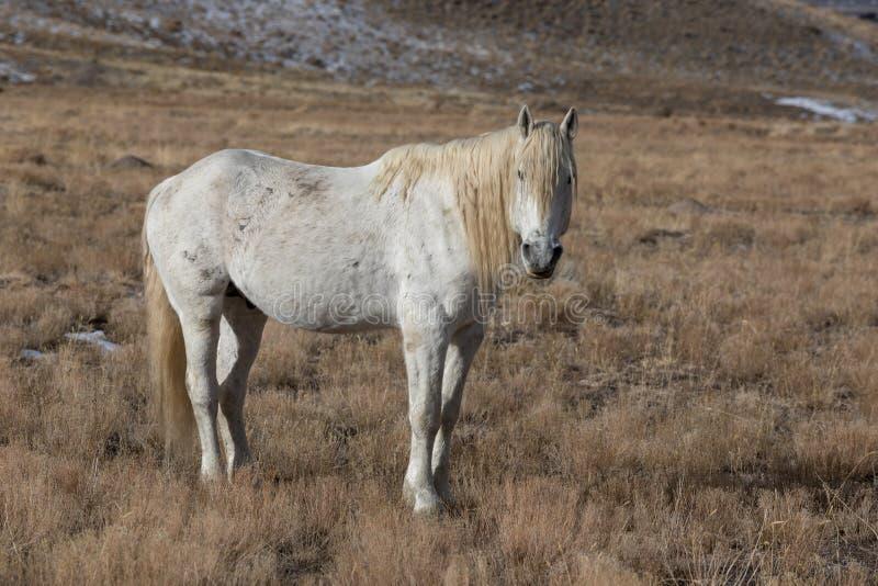Étalon de cheval sauvage en hiver images stock