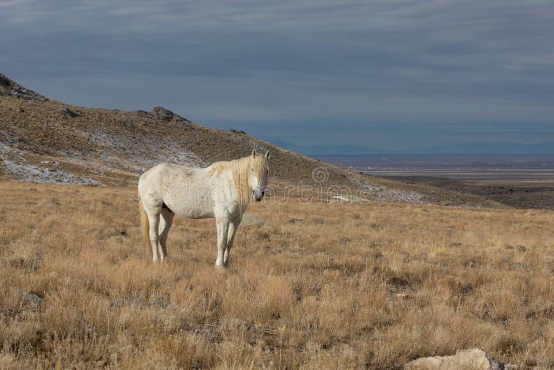 Étalon de cheval sauvage en hiver photos stock