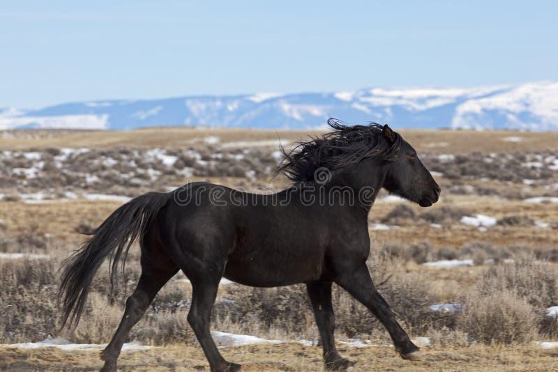 Étalon de cheval sauvage fonctionnant au Wyoming image libre de droits