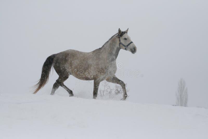 Étalon de Gray Arabian trottant sur une corde sur une pente neigeuse Dans le fond il y a les dessus des arbres Beaucoup de nuance photo stock