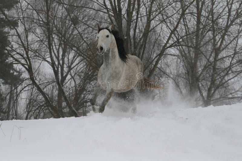 Étalon de Gray Arabian trottant sur une pente neigeuse Dans le fond il y a les dessus des arbres images stock