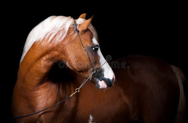 Étalon de poney d'obturation image stock