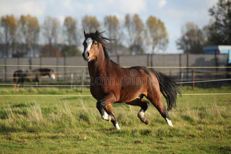 Étalon de poney de montagne de Brown gallois avec les cheveux noirs image stock