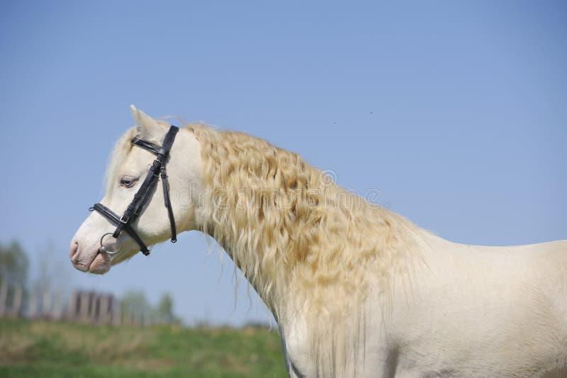 Étalon de poney de montagne de Cremello obturation photographie stock