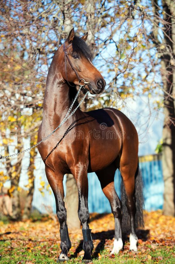 Étalon folâtre de poney de gallois de baie foncée posant près des arbres d'automne image stock