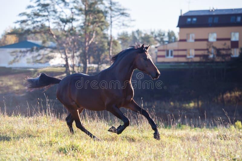 Étalon folâtre fonctionnant de poney de gallois de baie foncée à la liberté photographie stock