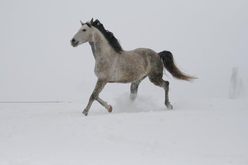 Étalon gris trottant par la neige par temps nuageux Toutes les nuances de gris images stock