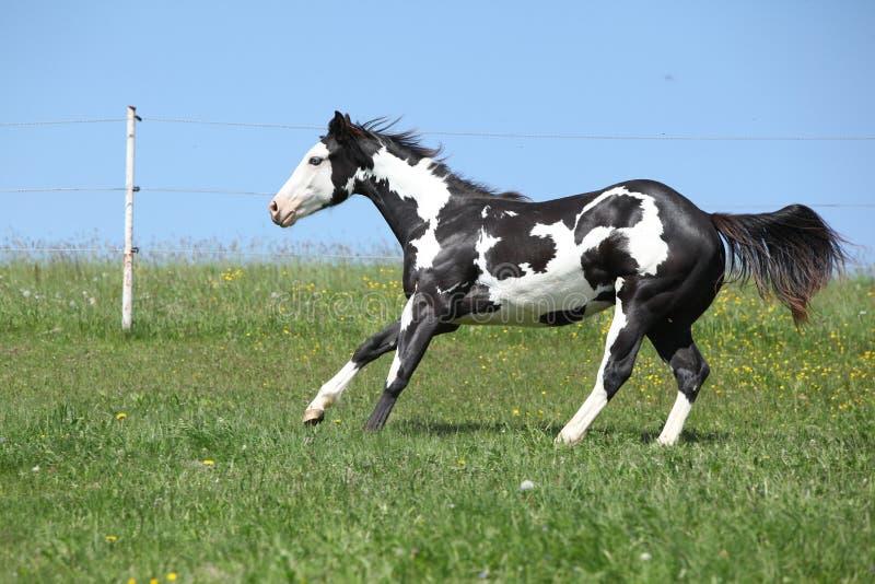 Étalon noir et blanc magnifique du fonctionnement de cheval de peinture image libre de droits