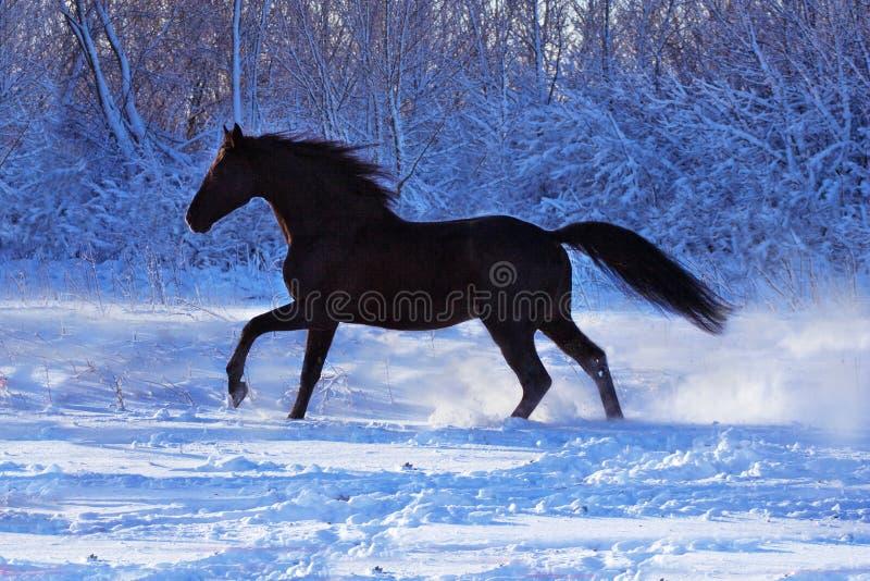 Étalon noir sur la neige blanche photographie stock libre de droits