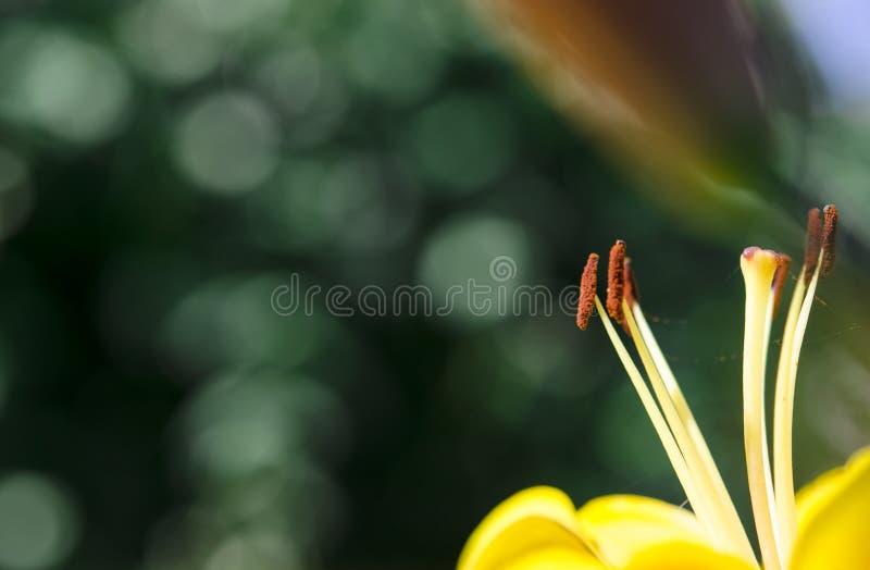 Étamine de Brown avec le pollen au-dessus des pétales jaunes de lis photos stock