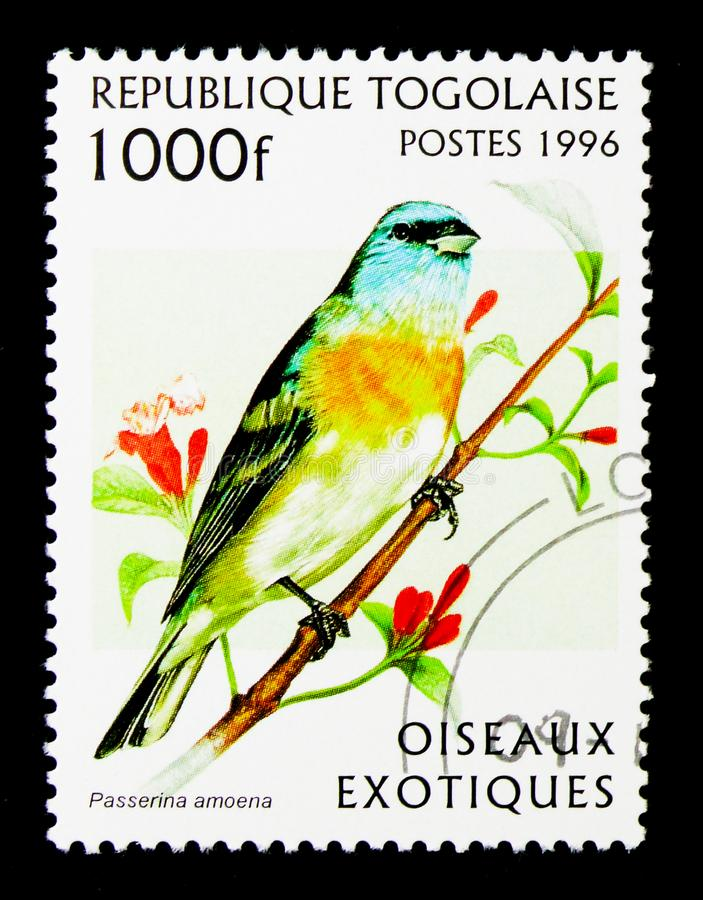 Étamine de lazulite (amoena de Passerina), serie exotique d'oiseaux, vers 199 images libres de droits