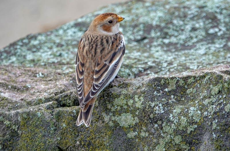Étamine de neige dans le plumage d'hiver photo libre de droits