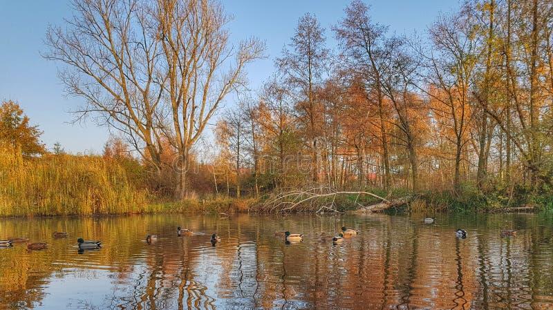 Étang avec des canards en parc images stock