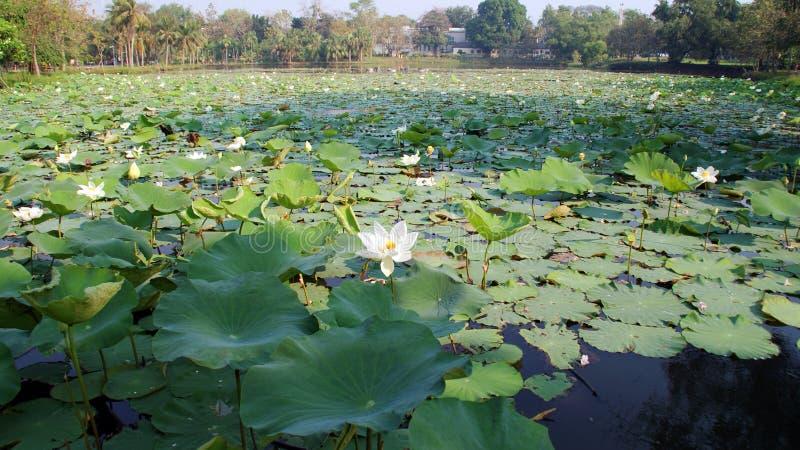 Étang avec le lotus photo stock