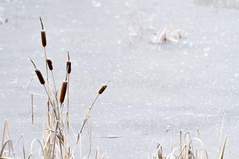 Étang congelé avec des cattails images libres de droits