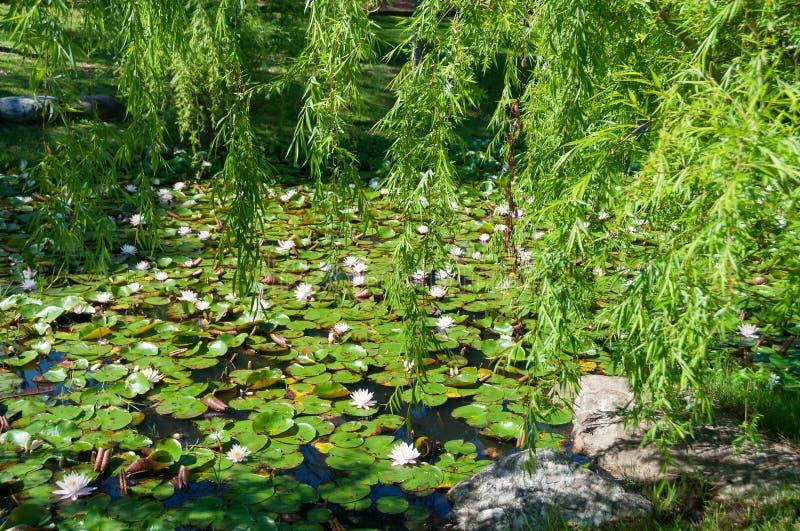 Étang couvert de lotus blooding, fleurs de nénuphar images stock