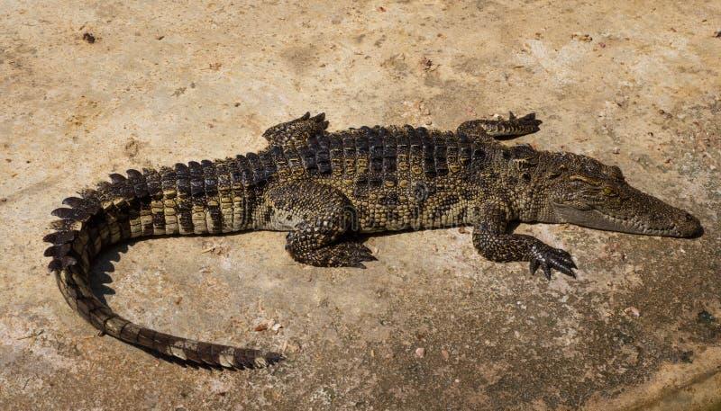 Download Étang De Crèche De Crocodiles Photo stock - Image du sauvage, rugueux: 87707444