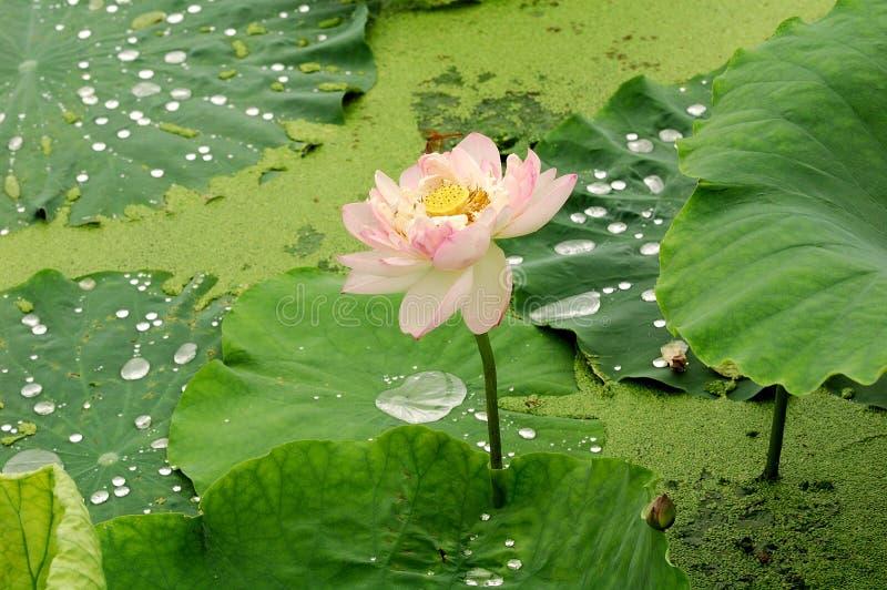 Étang de lotus photo stock