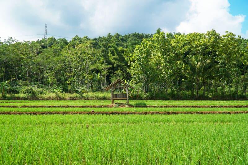 Étape de gisement de riz photographie stock libre de droits